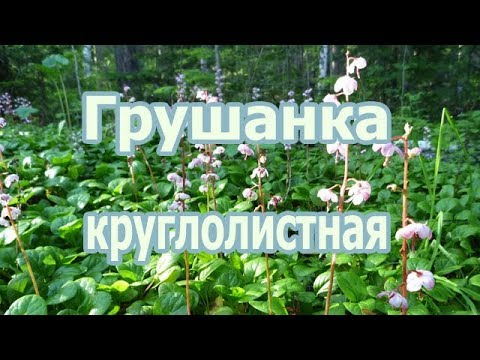 Лекарственное растение грушанка круглолистная, лечебные свойства и внешний вид дикорастущей травы.