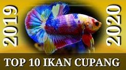 TOP 10 IKAN CUPANG PLAKAT 2019-2020