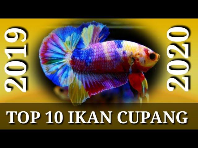 Top 10 Ikan Cupang Plakat 2019 2020 Youtube