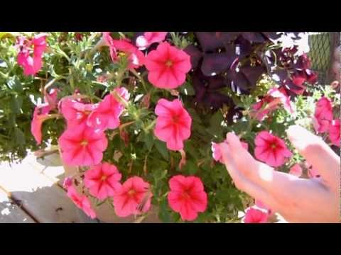 How To Keep Your Petunias Looking Full And Flowering Youtube
