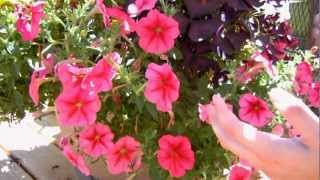 How to Keep your Petunias Looking Full and Flowering
