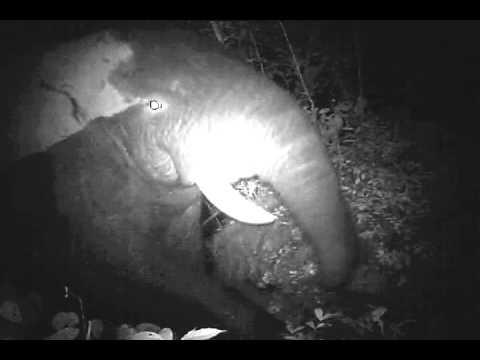 Rare forest elephant filmed in Liberia