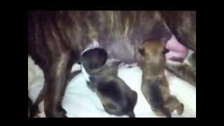 Bull Terrier Miniatura Raperos Camada A/14 thumbnail
