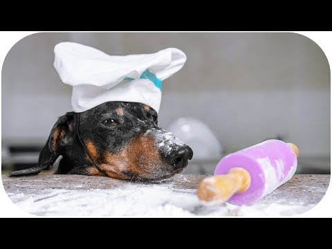 Fortune dumplings by dog chef! Cute & funny dachshund video!