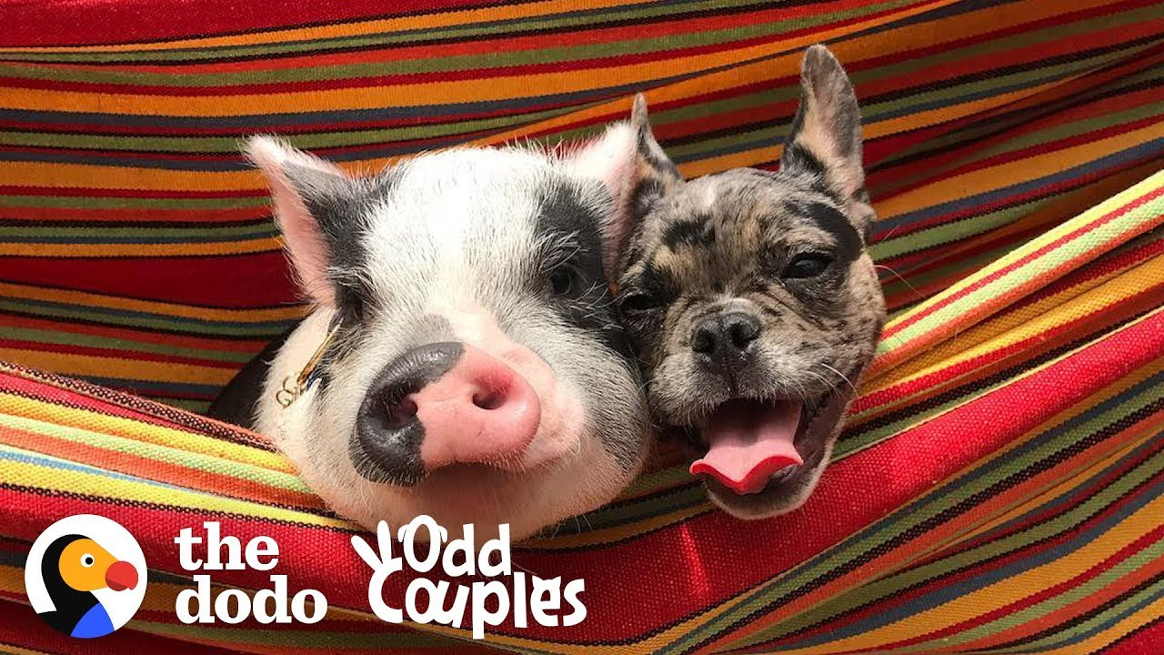 Animal Odd Couples Youtube dog and pig are the cutest, closest brothers ever | the dodo odd couples