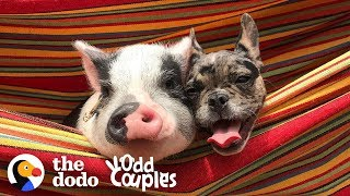 Dog And Pig Are The Cutest, Closest Brothers Ever | The Dodo Odd Couples