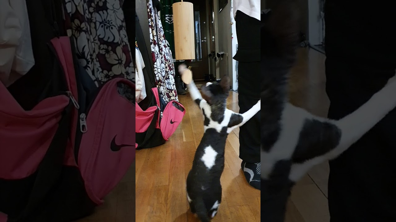 Cornish Rex cat plays music