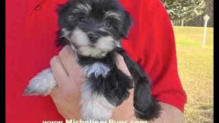 Gorgeous Black and Silver Morkies in Florida