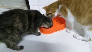 *FUNNY*  Sneaky cat pulls food away from other cat