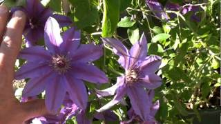 Blue Ravine Clematis Vine In Bloom