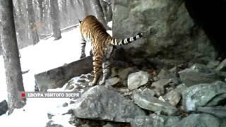 Житель Владивостока пытался продать шкуру амурского тигра