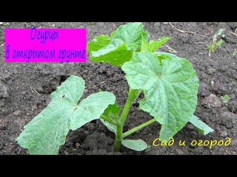 Огурцы в открытом грунте.  Сад и огород выпуск 162