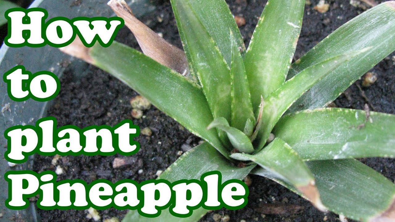 how to grow a pineapple plant growing fruit trees pineapples