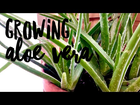 Growing Aloe Vera on How to Grow a Garden with Scarlett