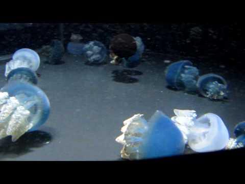 Blue Blubber Jellyfish- Baltimore National Aquarium