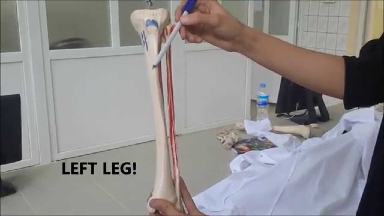 University of Sulaimani - Anatomy of Lower Limb - Bones of Leg ...