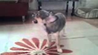 Поющая собака. Самые смешные видео про собак.