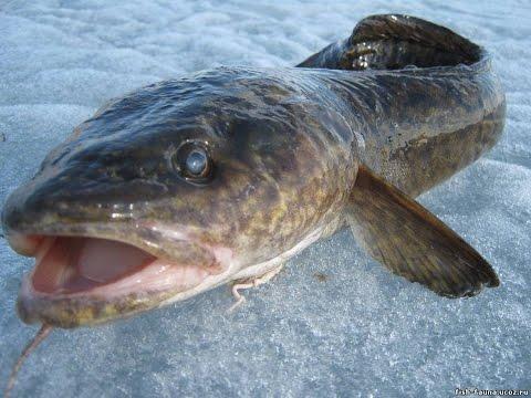 удочка для зимней рыбалки на налима