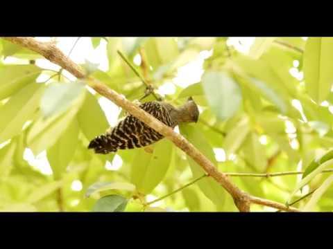 Kara Sun birding in (presenting wildlife of) Sabah (Borneo) - Part 1 (Inubong,Mt. Kinabalu)