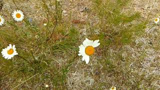 Daisy (made by lily and jack animation)
