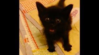 Little Talkative Rescue Kitten. Hear Him Roar!
