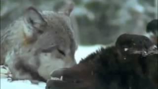Волки Документальный фильм