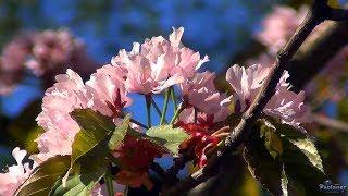видео Ботанический сад Санкт-Петербурга – цветение сакуры