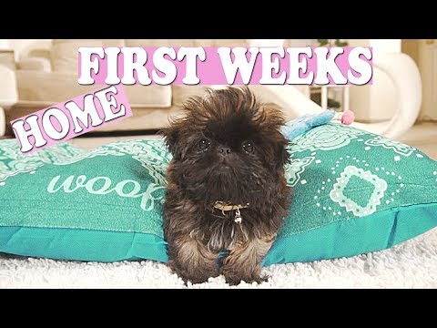 Puppy's FIRST WEEK Home! | Imperial Shih Tzu