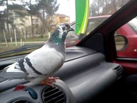 Pet Racing Pigeon in the car (Majom)