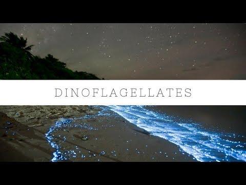 Dinoflagellates and Tank Update