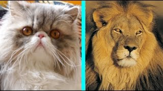 A Household Cat Gets A Lion Cut Makeover