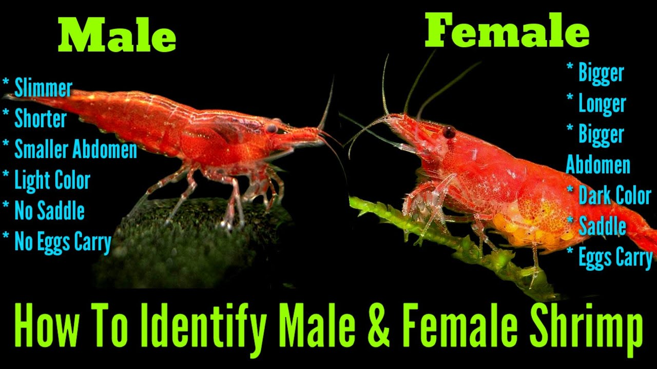 How To Identify Male And Female Cherry Shrimp Cherry Shrimp Gender Identification Youtube