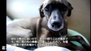 イタリアン・グレーハウンド(Italian greyhound)の性格や特徴をご紹介...