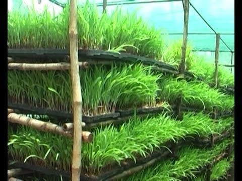 Tips for raising hydroponic fodder grass & vissaka farmers experience