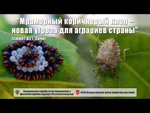 """""""Мраморный коричневый клоп – новая угроза для аграриев страны"""" (сюжет из г. Сочи)"""