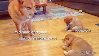 He teachin his pups a lesson / Shiba Inu puppies (with captions)