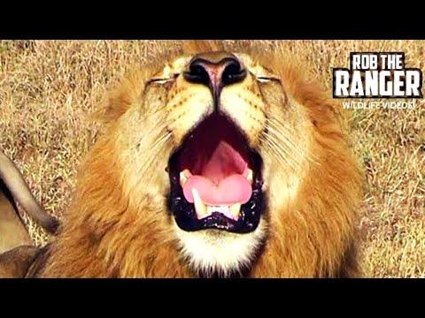 Powerful Roar Of A Majestic Wild African Male Lion