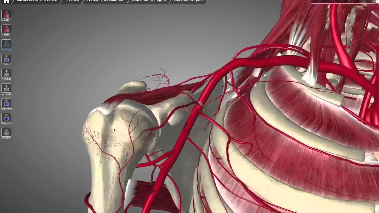 Axillary Artery Tutorial Youtube