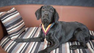 Filou - Labrador x Cocker Spaniel Puppy - 2 Weeks Residential Dog Training