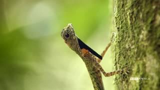 Flying Lizard Makes A Daring Escape | Wild Singapore | BBC America