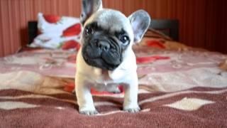 Французкий бульдог щенок Джеки лает