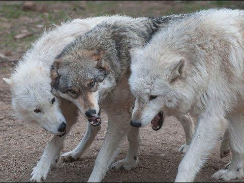 International Wolf Center - Live Webcams