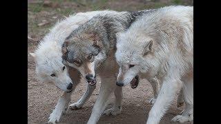 International Wolf Center - Live Webcams