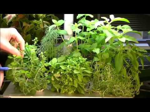 average-heights-of-aerogarden-plants