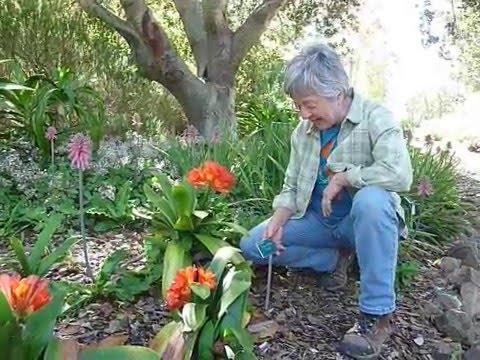 Scarborough Lily At San Luis Obispo Botanical Garden