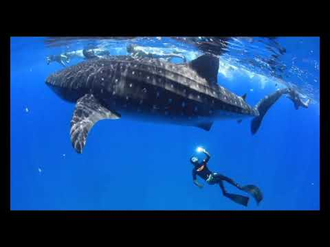 Diving with whale sharks in Mozambique