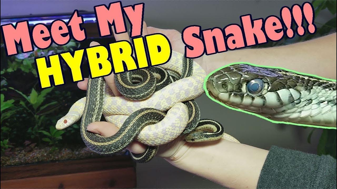 How to Identify Garter Snakes!