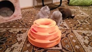 Наши милые смешные британские котята, игра и пакости))