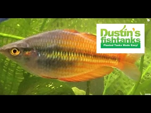 How To Keep Rainbowfish: Rainbowfish Species In The Planted Tank