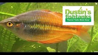 how to keep rainbowfish rainbowfish species in the planted tank